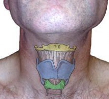 The hyoid bone (top yellow) is connected to the tongue and jaw muscles above and the thyroid cartilage below. The thyroid cartilage (central blue) is also known as the Adams Apple and protects the vocal cords which are attached on the backside in the middle. The cricoid cartilage (lower green) is a complete ring supporting the bottom of the larynx.